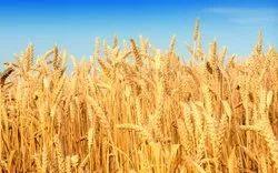 Wheat Zyme
