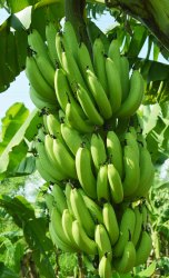 A Grade Maharashtra Green Banana, Packaging Size: 20 Kg, Packaging Type: Wood Box
