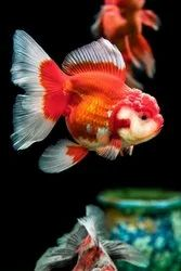 Red Oranda Goldfish, 3 Years, Size: 2 Inches 3 Inches