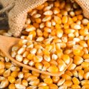 Yellow Whole Maize Or Maka, Organic