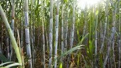 Sugarcane Zyme