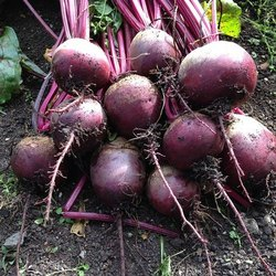 shyali product raw Beetroot, Pan India, Packaging Size: 50