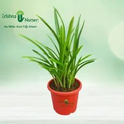 Green Sudarshan Lily Outdoor Plant with Red Plastic Pot