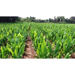 Turmeric Seed Farming Consulting Services