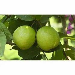 Thai Guava Farming Consulting Services