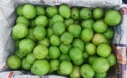 Well Watered Green Allahabad Safeda Guava, For Fruits