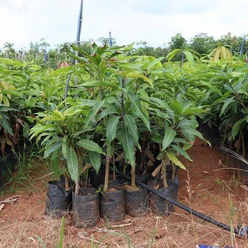 Thailand Mango Plant