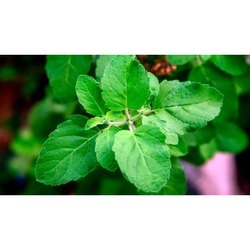 Green Dried Dry Tulsi Leaves, Packaging Type: PP Bag, Packaging Size: 1 Kg