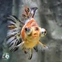 Zebra Danios Red Gold Fishes, For Commercial, Packaging Type: Box