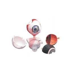 Singhla Scientific Pvc Human Eye Model, For Medical, Size: 12x12x46 Cm