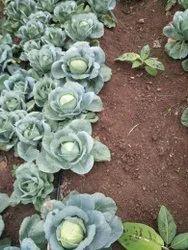 Green A Grade Fresh Cabbage, Gunny Bag, 20 Kg