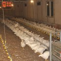 Poultry Female Chain Feeding System