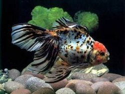 Redcap Oranda Goldfis(Black-White)
