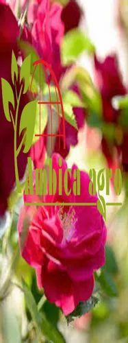 Kashmiri Rose Plants