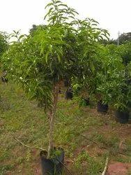 Chinna Rasam 4 Year Mango Plants