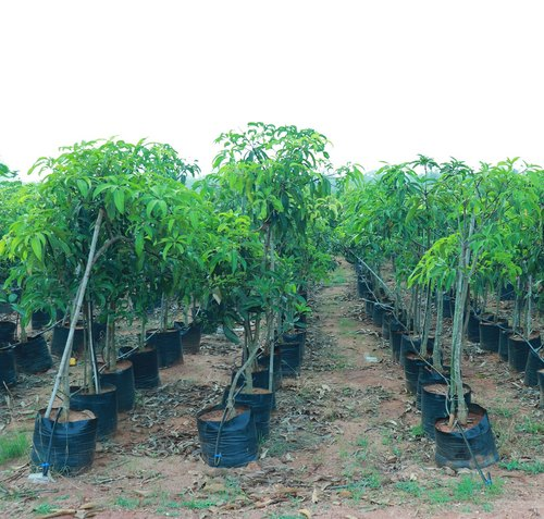 Chinna Rasam Mango 2.5 Year Plant