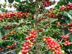 Pillar Coffee Estates And Farming