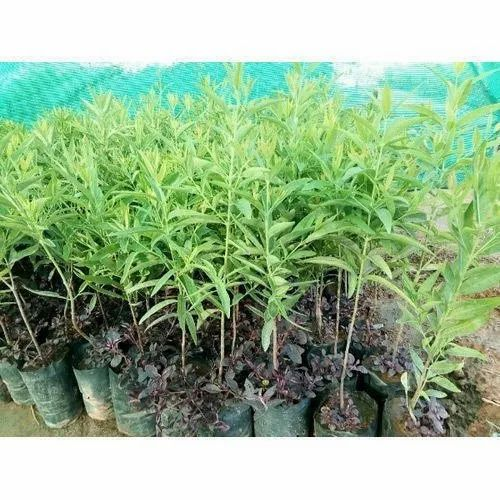 Well Watered Sandalwood Outdoor Plant For Garden Rs 100 Piece Id 22569696788