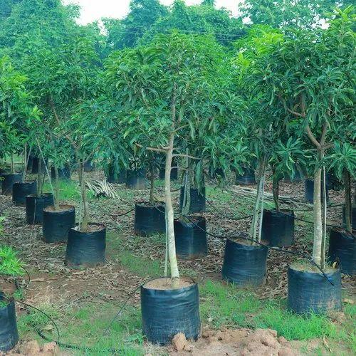 Basther Mango Plant 4 Years Plant