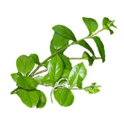 Gurmar Powder (Gymnema sylvestre)
