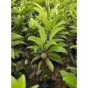 Grafting Chiku Plant 2.5 feet
