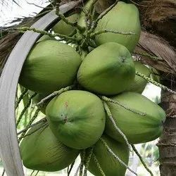 Raw Green Coconut, Coconut Size: Large