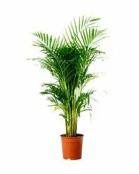 Corporate Gifting Plant