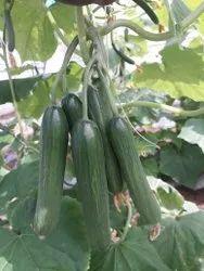 Green 125 F1 Hybrid Cucumber Seeds, Packaging Size: 50 Gms, Loose 10 Kg Bag
