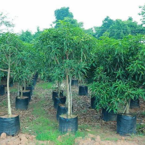 Live Basther Mango Plant 6 Years Plant