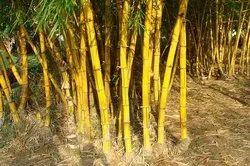 15-30 Bambusa Strita Bamboo Plant -15 To 30 Foot