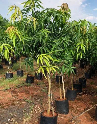 Mallika Mango 2 Years Plant