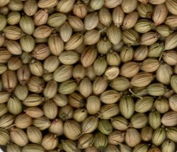 Bora Foods Green Coriander Seeds, Packaging Type: Multi Layer Paper Bag, Packaging Size: 25 kg