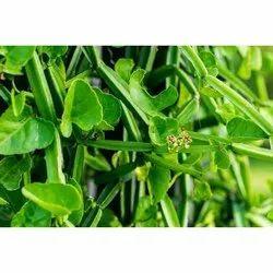 Cissus Powder (Cissus quadrangularis)