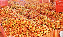Karnataka Indian Tomato