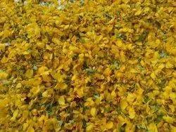 Yellow Senna Flowers - Cassia Auriculata Flower