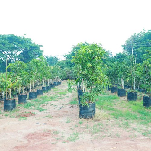Totapari Mango 6.5 Year Plant
