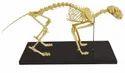 Cat Skeleton Model