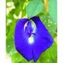 Blue, White Clitoria Ternatea Flower, For Health Tea, Packaging Size: 1 Kg