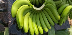 A Grade Maharashtra Fresh Green Banana (Export Quality), Packaging Size: 13 kg,7 kg, Packaging Type: Box