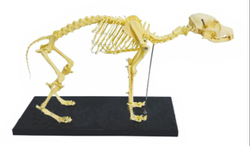 Skeleton Model Of Dog