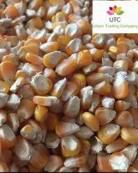 A Grade Dried Corn Makka, Packaging Size: 50 Kg