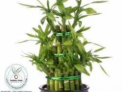 Bamboo Plant, For Plantation, Packaging Type: Pb