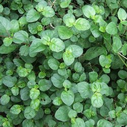 Punarvana Powder (Boerhavia Diffusa)