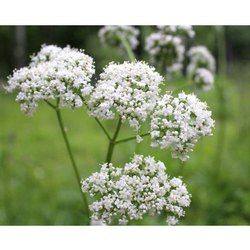 Caprifoliaceae Valerian Flower, Packaging Type: Packet