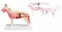 Dog Anatomical Model