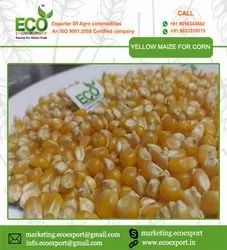 Cattle Feed Yellow Maize