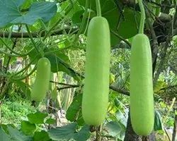 A Grade Green Organic Fresh Bottle Gourd, Pesticide Free  (for Raw Products)