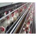6 Birds Per Box Comfort Cage