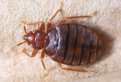 Commercial Pestico Bed Bug Treatment