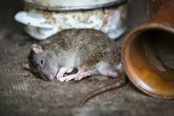 Home Chemical Treatment Rodent Control